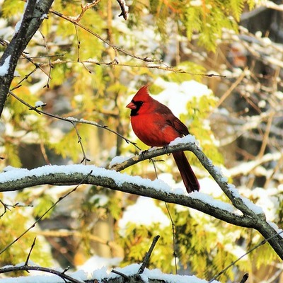 https://cdn.pixabay.com/photo/2015/11/24/19/11/cardinal-1060609_960_720.jpg