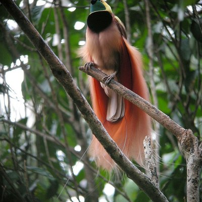 https://en.wikipedia.org/wiki/Bird-of-paradise#/media/File:Raggiana_Bird-of-Paradise_wild_5.jpg